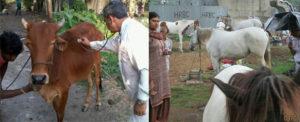 Large animal treatment